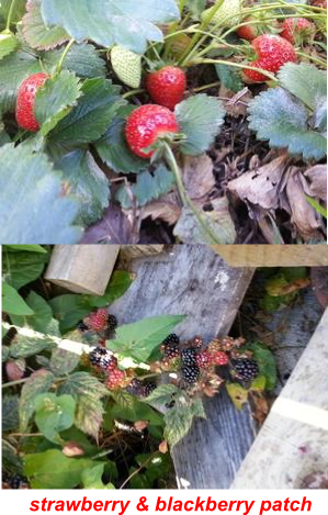 strawberry & blackberry patch